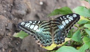 Butterfly 7 by MadForHatters