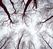 The trees overhead. by orlibraorli