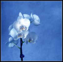 Orchid in light blue by kanes