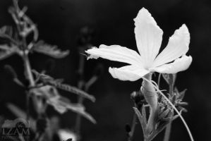 Flower in Black and White by Izam01