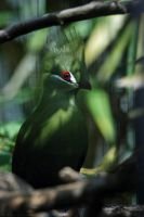 Green-crested Turaco by robbobert