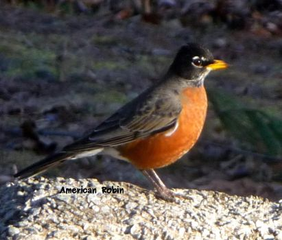 Robin in the Morning Sun by dgpc4ever