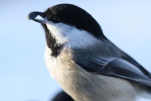 Chickadee Portrait by Kasionn