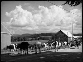 Till The Cows Come Home by Vermontster