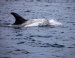 Channel Island Dolphins - 4 by MSlygh