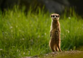 Meerkat by The-Other-Half-Of-Me