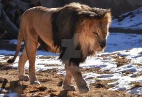 Male Lion by Elle-Arden