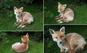 Juvenile Red Fox Lifesize Mount by DeerfishTaxidermy