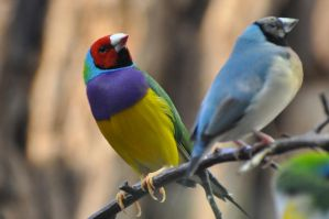 Lady Gouldian Finch by NinaHoerz