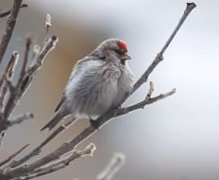Arctic Redpoll 02 by nordfold