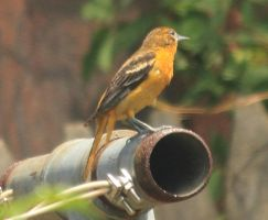 female baltimore oriole by Laur720