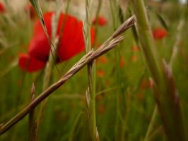 Coquelicot and Co by piink-chamallow