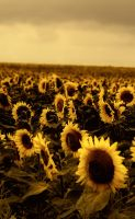 Sunflower Fields by speedonl