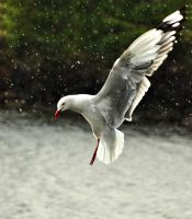 Rain Gull by RobynCutts