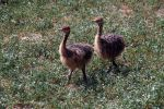 Ostrich Fledgelings by Martina-WW