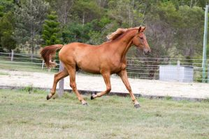Dn wb trot side view ears pricked by Chunga-Stock