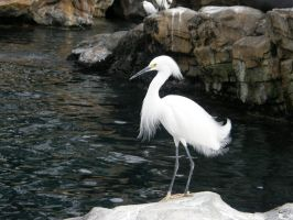 Egret 4 by D-is-for-Duck