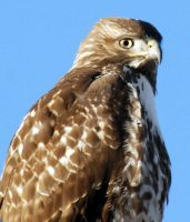 Red Tailed Hawk Close Up by houstonryan