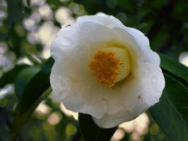 Camellia White0633 by osam-devet