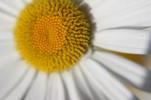marguerite by CapturedForInfinity