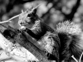 B+W Squirrel by Rosette1314