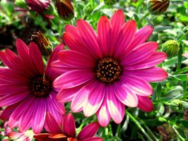 Violet Daisy by Valewade