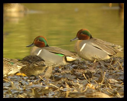 Twin Teals by swashbuckler