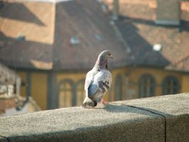 Pigeon by pingvin66666