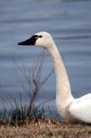Swan at Mattamuskeet by Blue-to-the-Bone