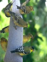 Lots of Lesser Goldfinches by Geotripper