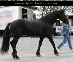 black friesian stallion walk 1 by venomxbaby