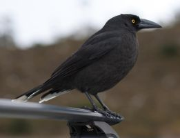 Currawong 04 by 88-Lawstock