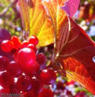 Tinted leaves and red berries by IamNasher