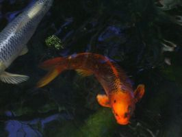 Koi Stock 1 by chamberstock
