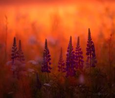 Lupines by Nitrok