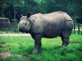Rhino I by evelynrosalia