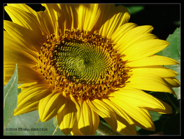 Sunflower Plate by Mogrianne