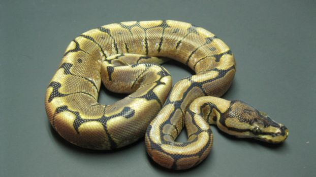 Female Spider Ball Python by ReptileMan27