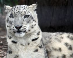 Snow Leopard 01 by aussiegal7