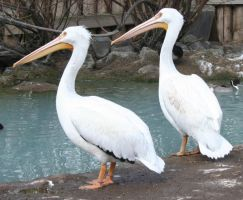Tautphaus Zoo 10 Pelican by Falln-Stock