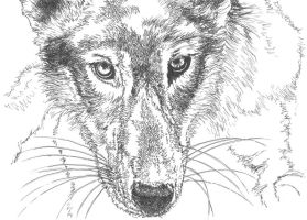 Wolf Cub - Sketch by GabrielGrob