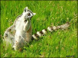 Lemur Chillin by Estruda