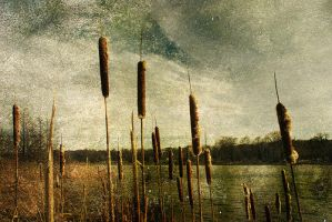 bullrushes by Never-let-me-go