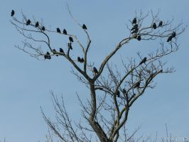 Tree of crows  jackdaws by Momotte2