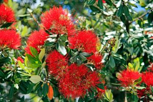 Pohutukawa New Zealands Christmas Tree by Capturing-the-Light