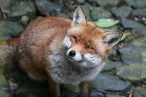 Quizzical Fox? by jm2003uk