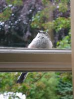 Little Bird at the Window 2 by elca98