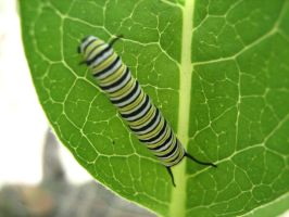 Monarch Caterpilar by poiuytre00750