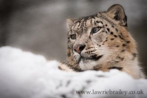 King of the Snow by Chikrata