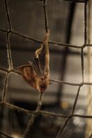 Hanging bat by kla91